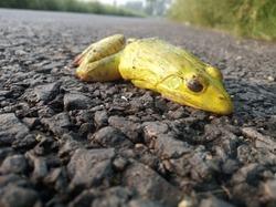 Hoplobatrachus tigerinus (Indus valley bullfrog) on asphalt road. Closeup of dead body of green frog.