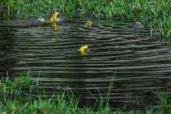 Hoplobatrachus tigerinus, the Indus Valley bullfrog or Indian bullfrog, popular name Asian bullfrog, is a large species of frog found in mainland Myanmar, Bangladesh,