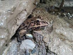 Hoplobatrachus tigerinus, the Indus Valley bullfrog or Indian bullfrog, popular name Asian bullfrog, Asean bullfrog is a large species of frog found in mainland Myanmar, Bangladesh.