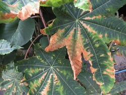 Hopper burn on leaf castor-oil plant caused  by cotton leaf hoppers insect pest.