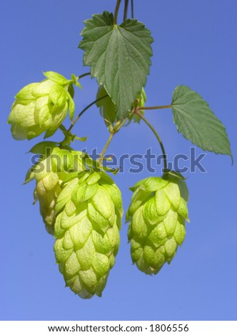 hops - stock photo