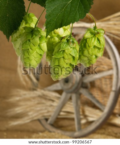 hops - stock photo