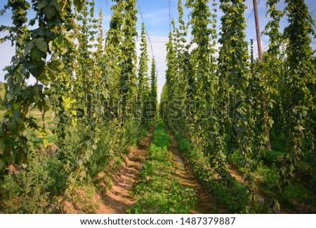 Hops field. Fully grown hop bines. Hops field in Czech Republic. Hops are main ingredients in Beer production.