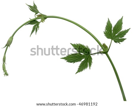Hops plant twined vine, young leaves. Design elements