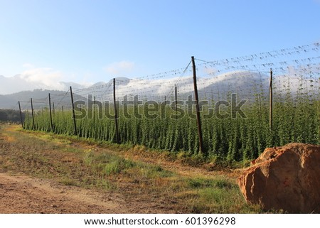 Hops Plantation #601396298