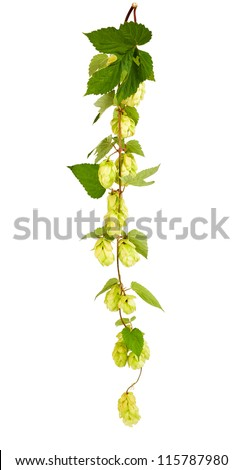hops  with leaves  isolated on white