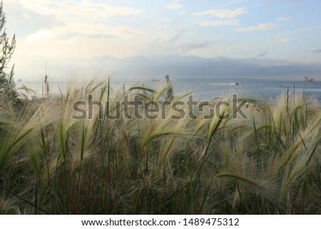 Hordeum jubatum (foxtail barley, squirreltail barley, bobtail barley, intermediate barley) plant against the background of the sea. Ships in the sea. #1489475312