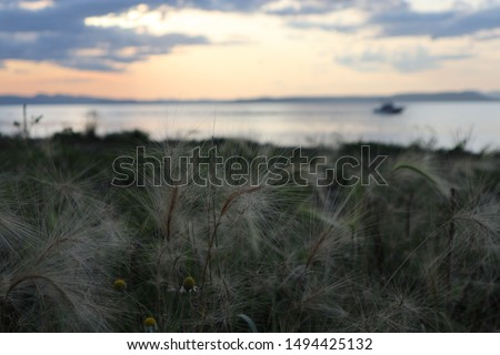 Hordeum jubatum (foxtail barley, squirreltail barley, bobtail barley, intermediate barley) plant. Sunset at sea. #1494425132