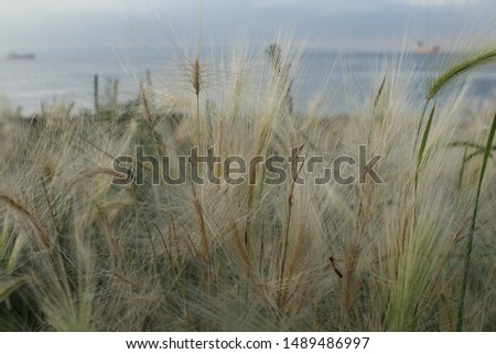 Hordeum jubatum (foxtail barley, squirreltail barley, bobtail barley, intermediate barley) plant on the seashore. Sea in the background. #1489486997