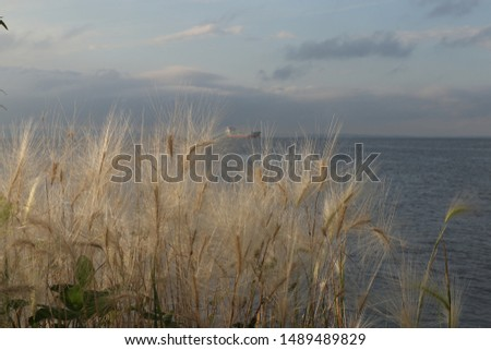 Hordeum jubatum (foxtail barley, squirreltail barley, bobtail barley, intermediate barley) plant on the seashore. Ship far in the sea.