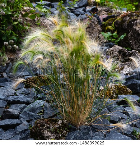Hordeum jubatum, with common names foxtail barley, bobtail barley, squirreltail barley, and intermediate barley, is a perennial plant. Ornamental grasses and cereals in the garden. #1486399025