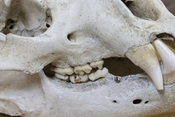 Horisontal photo of adult bear skull close-up from the left side, some teeth missing