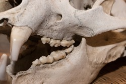 Horisontal photo of adult bear skull close-up from the right side, some teeth missing