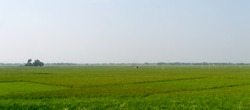 Horizon over Agricultural field and green spring meadow. Countryside farmland with Rice paddy. Agriculture greenery with food crop. Rural village India at summer. Rectangular Panorama landscape view.