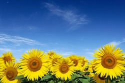 Horizontal alignment of yellow sunflower flower on blue sky background