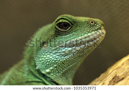 Stock Photo horizontal animal pet close up - beautiful green chinese water dragon agama portrait sitting on a tree branch in terrarium