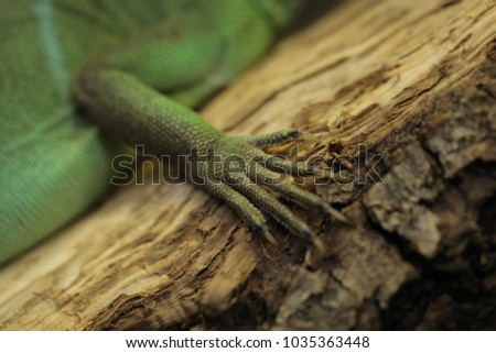 Stock Photo horizontal animal pet close up - macro of a claw with nails of  beautiful green chinese water dragon agama sitting on a wooden branch  in terrarium