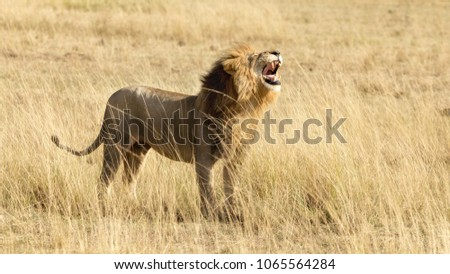 Horizontal banner of a roaring male lion in the Masai Mara, Kenya. Side view. #1065564284
