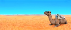 Horizontal banner with camel in Sahara desert, Morocco. Camels dromedary resting lying on the sand. On blue sky background