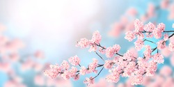 Horizontal banner with sakura flowers of pink color on sunny backdrop. Beautiful nature spring background with a branch of blooming sakura. Copy space for text
