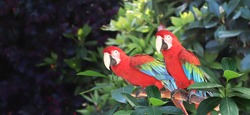 Horizontal banner with two beautiful Ara macao parrots on a branch in a rainforest. On blurred background with green tropical leaf and Scarlet Macaw. Copy space for text