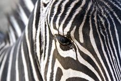 Horizontal close up image of a zebra