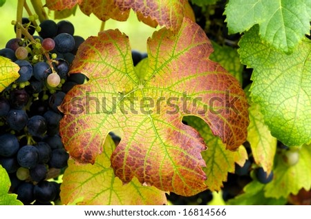 Horizontal close up of grape leaf in Autumn colors with purple grapes in background
