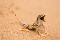Horizontal closeup colour image of aggressive shovel-snouted lizard or Anchieta's dune lizard in Dorob National Park Namibia