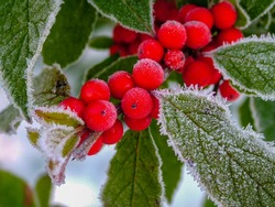 Horizontal closeup of a stem of 'Winter Red' winterberry holly (Ilex verticillata 'Winter Red') with frost-covered red berries and green leaves