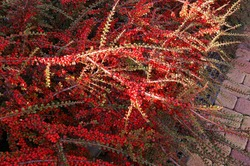 Horizontal cotoneaster hedge in autumn
