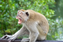 Horizontal full length close up photo of an angry macaque showing teeth and fangs trying to attack a man in a park