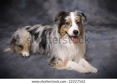 Horizontal image of a beautiful purebred Blue Merle Australian Shepherd on a mottled blue and grey background.