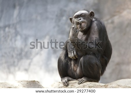 Horizontal image of a bored looking common chimpanzee picking it's teeth or biting it's finger nails in a zoo enclosure.