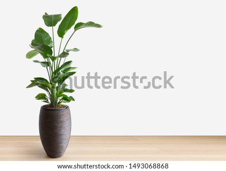 horizontal image of a bright living room with a large tropical houseplant, giant white bird of paradise, strelitzia nicolai, copy space