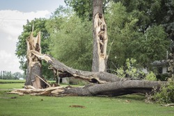 horizontal image of a couple of very large tree trunks broken down by high winds and lightening due to thunder storm in the summer.