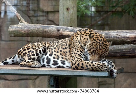 Horizontal image of a relaxed jaguar.