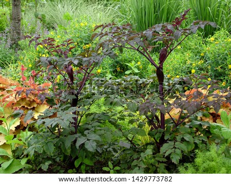 Horizontal image of 'Ebony' angelica (Angelica 'Ebony') in a garden setting, showing the purple stems, foliage (leaves), and flower bud