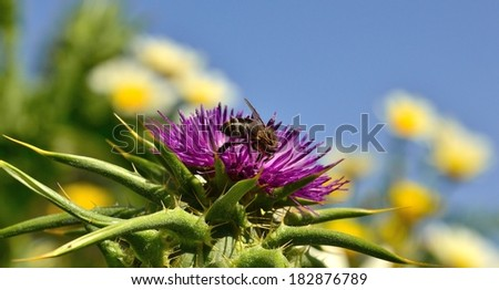 Horizontal  image of extraordinary  milk thistle flower with worker bee collecting pollen on its exquisite stamens, with blue sky background out of focus - stock photo