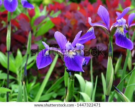Horizontal image of 'Gerald Darby' iris (Iris x robusta 'Gerald Darby') in bloom (flower) in a garden setting in late spring Stockfoto ©