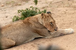 Horizontal image of lazy lioness lying in the yellow sand. Female Lion resting in the sun a hot day on the savanna. Lioness isolated in savanna in South Africa, safari adventure wildlife photography.