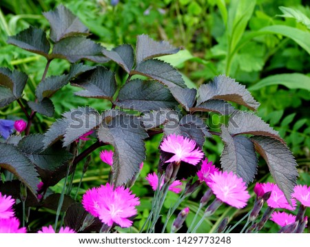 Horizontal image of the purple foliage (leaves) of 'Ebony' angelica (Angelica 'Ebony') with the pink flowers of 'Firewitch' pink (Dianthus 'Firewich')