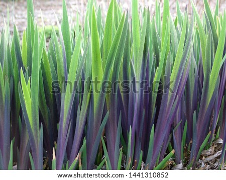 Horizontal image of the spring foliage (leaves) of 'Gerald Darby' iris (Iris x robusta 'Gerald Darby) Stockfoto ©