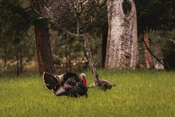 Horizontal image of three male toms wild turkey displaying their plume of puffed feathers and red and blue gobble to prospective female mates in a green field with forest trees in back ground.