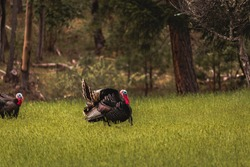 Horizontal image of two male toms wild turkey displaying their plume of puffed feathers and red and blue gobble to prospective female mates in a green field with forest trees in back ground.