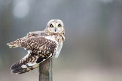Horizontal, landscape image of a short eared owl