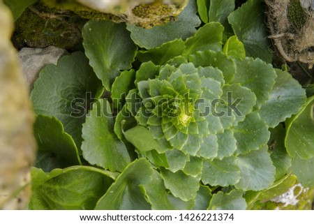 Horizontal navelwort Umbilcus horizontalis form above showing leaves arranged in mathematical sequence of Fibonacci numbers. Buskett, Malta,