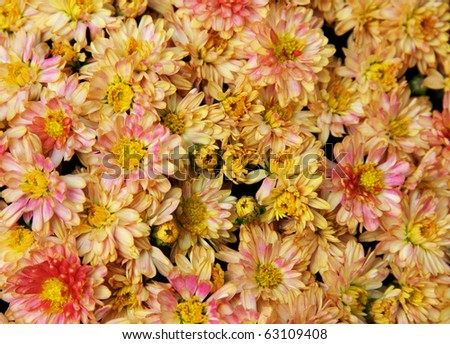 Horizontal photo of large  group of flowering mums ready for the holidays