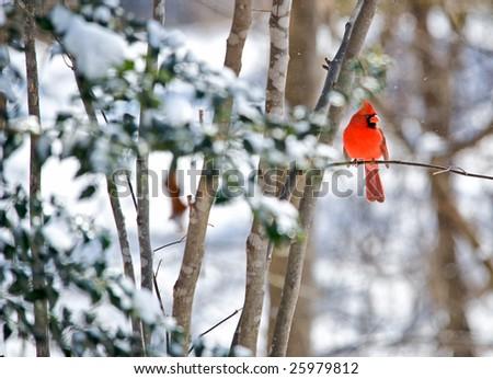 Horizontal photo of Northern Cardinal sitting on limb on snowy winter morning