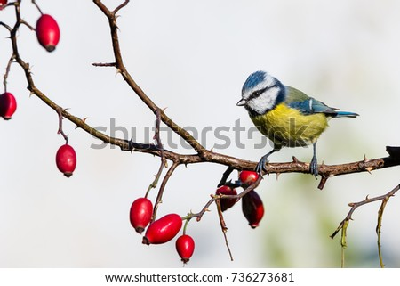 Horizontal photo of single male blue tit songbird. Bird is perched on thin twig of red rose hip with few fruits. Animal has yellow, blue, black, green and white feathes. Background is light. #736273681