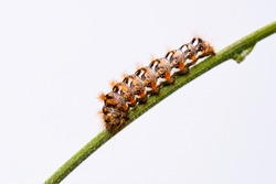 Horizontal photo with colorful caterpillar. Bug is perched on green stem. Insect is captured on light background. Color of bug is white, black and orange. Body is covered by long hairs.